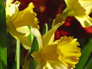 Board of Trustees-Daffodil